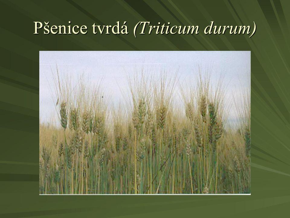 Pšenice tvrdá (Triticum durum)