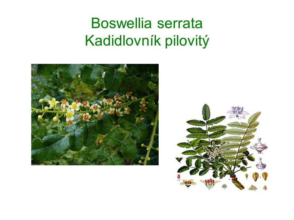 Boswellia serrata Kadidlovník pilovitý
