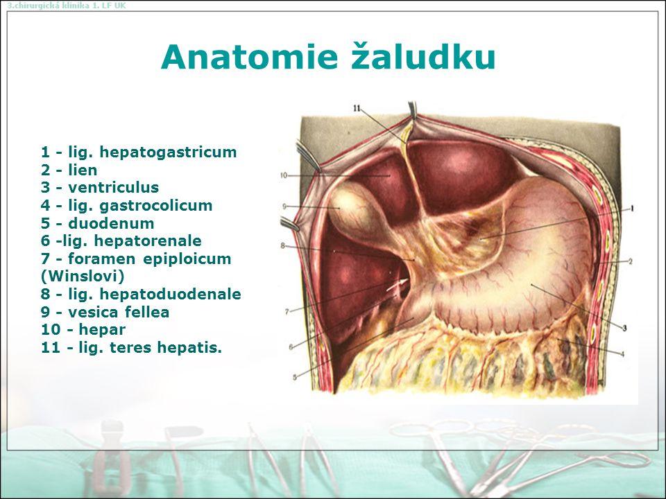 Anatomie žaludku