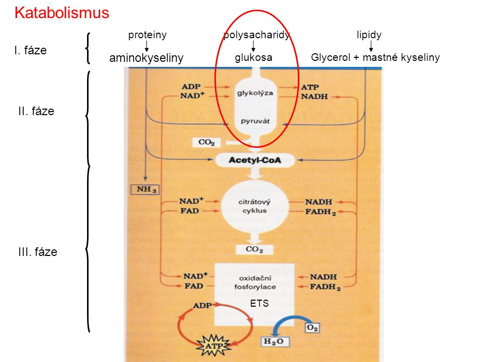 Katabolismus I. fáze aminokyseliny II. fáze III. fáze proteiny