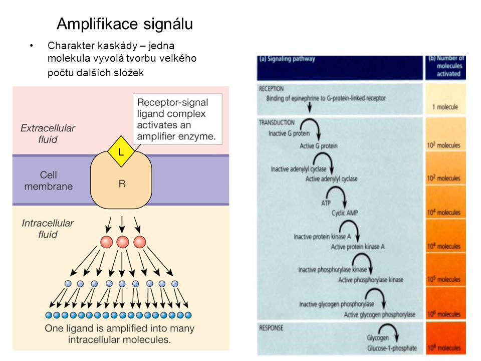 Amplifikace signálu Charakter kaskády – jedna molekula vyvolá tvorbu velkého počtu dalších složek