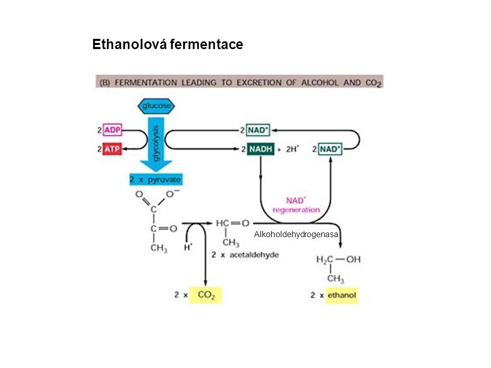 Ethanolová fermentace