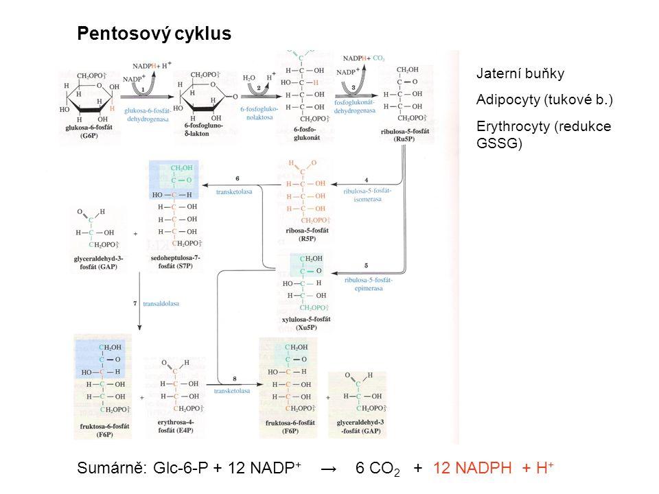 Pentosový cyklus Sumárně: Glc-6-P + 12 NADP+ → 6 CO2 + 12 NADPH + H+