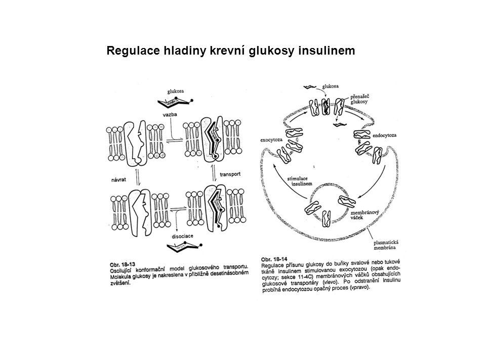 Regulace hladiny krevní glukosy insulinem