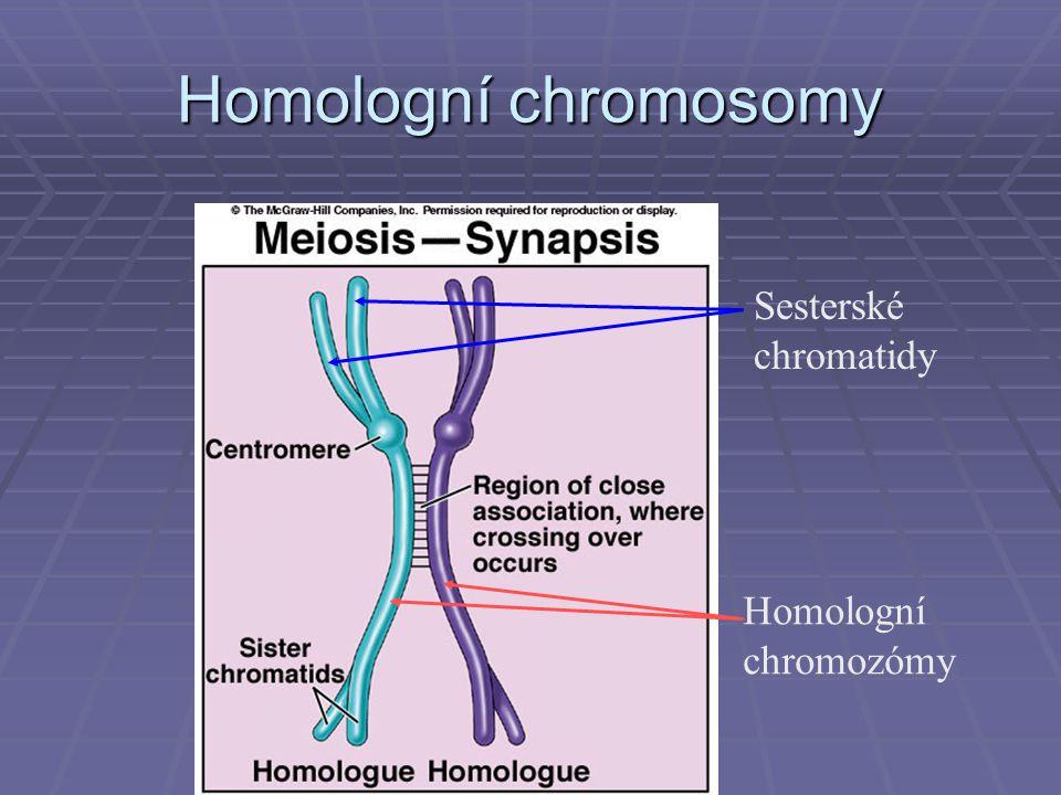 Homologní chromosomy Sesterské chromatidy Homologní chromozómy