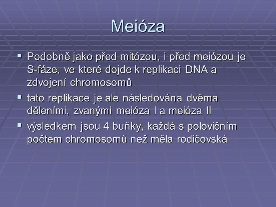Meióza Podobně jako před mitózou, i před meiózou je S-fáze, ve které dojde k replikaci DNA a zdvojení chromosomů.