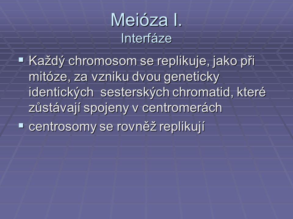 Meióza I. Interfáze