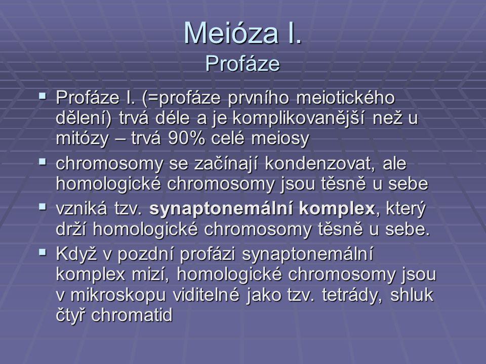 Meióza I. Profáze Profáze I. (=profáze prvního meiotického dělení) trvá déle a je komplikovanější než u mitózy – trvá 90% celé meiosy.