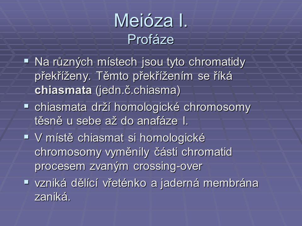 Meióza I. Profáze Na různých místech jsou tyto chromatidy překříženy. Těmto překřížením se říká chiasmata (jedn.č.chiasma)