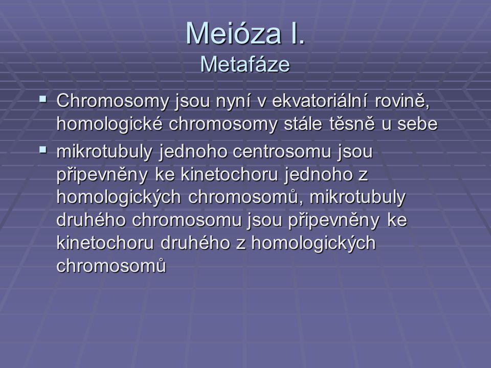 Meióza I. Metafáze Chromosomy jsou nyní v ekvatoriální rovině, homologické chromosomy stále těsně u sebe.