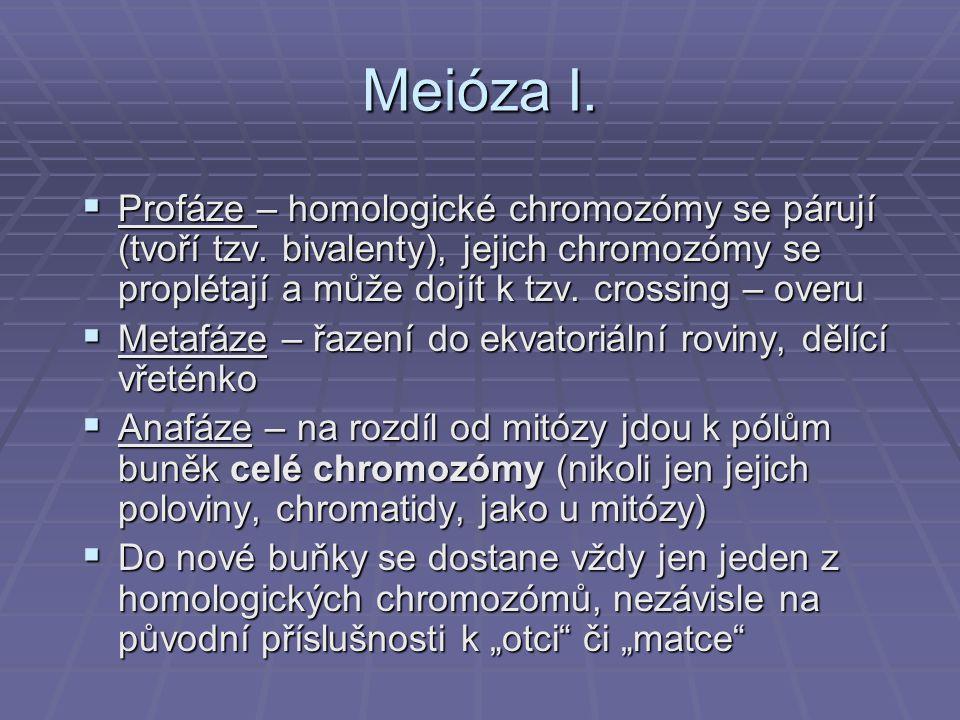 Meióza I. Profáze – homologické chromozómy se párují (tvoří tzv. bivalenty), jejich chromozómy se proplétají a může dojít k tzv. crossing – overu.