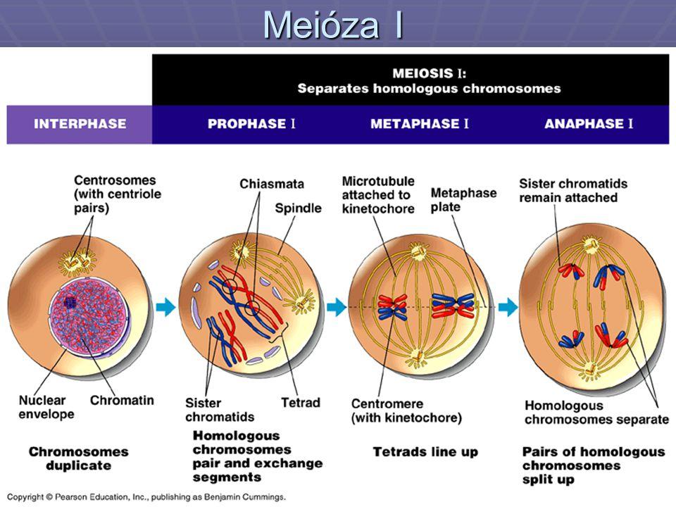 Meióza I