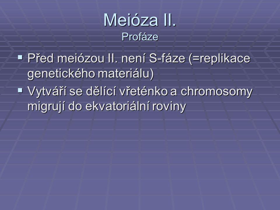 Meióza II. Profáze Před meiózou II. není S-fáze (=replikace genetického materiálu)