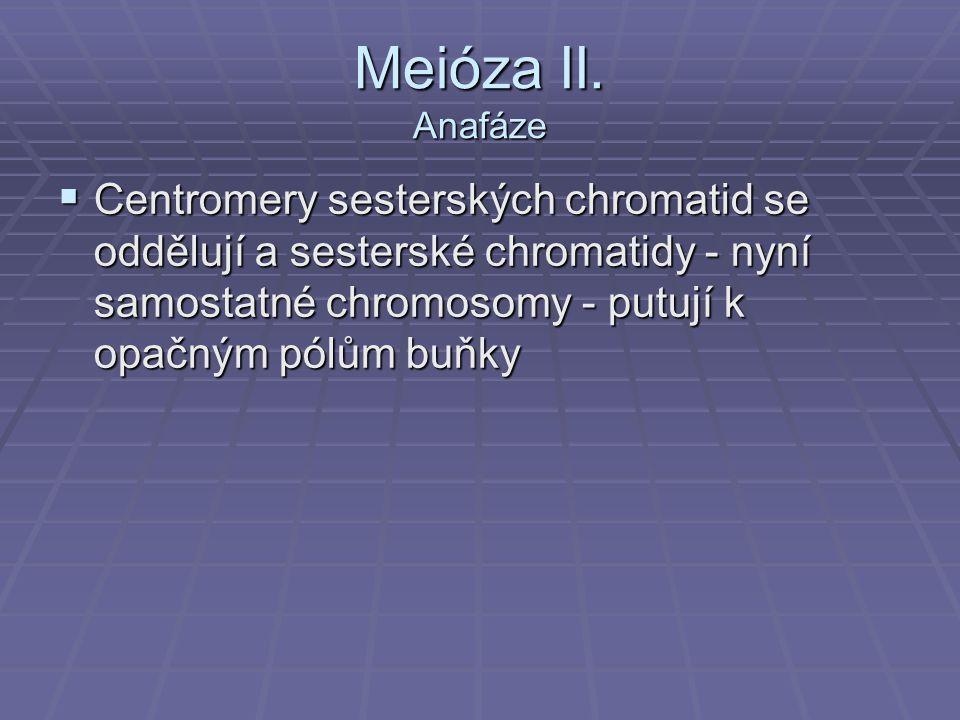 Meióza II.