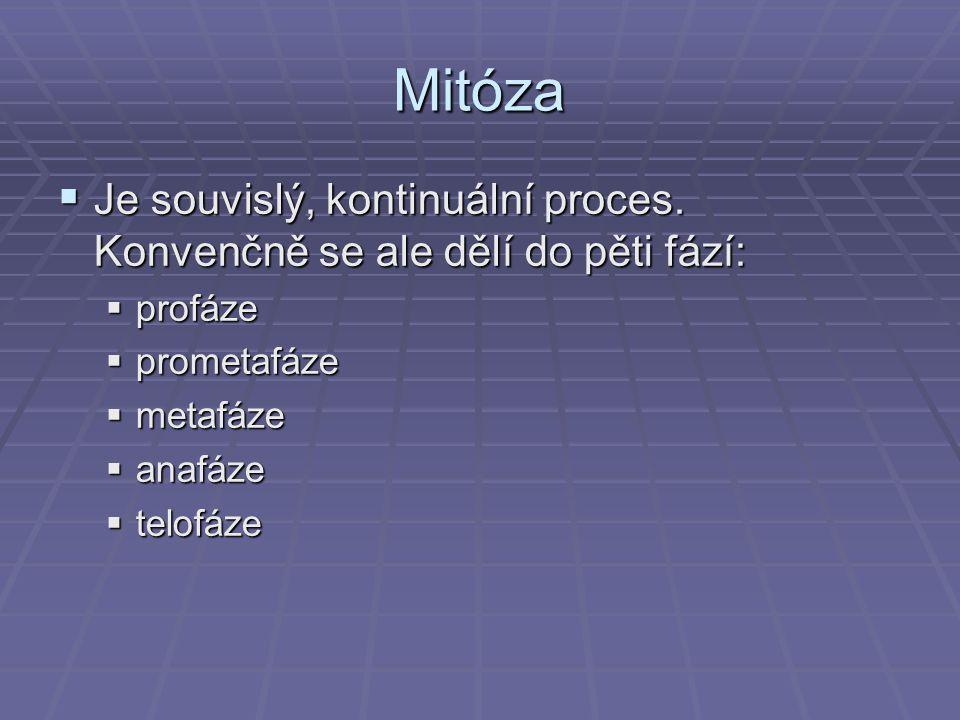Mitóza Je souvislý, kontinuální proces. Konvenčně se ale dělí do pěti fází: profáze. prometafáze.