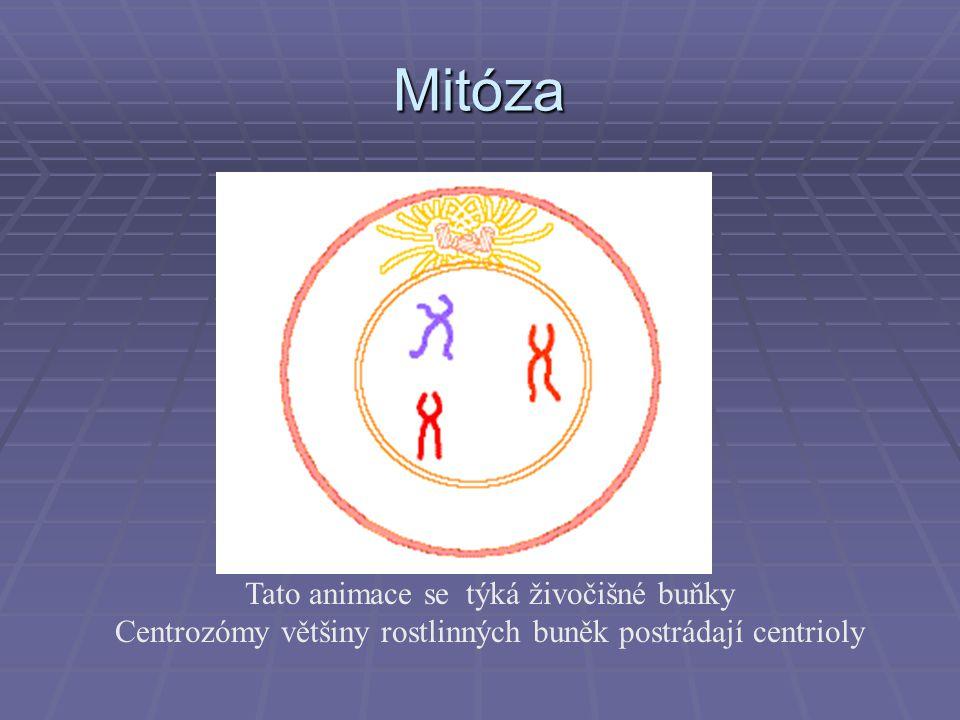 Mitóza Tato animace se týká živočišné buňky