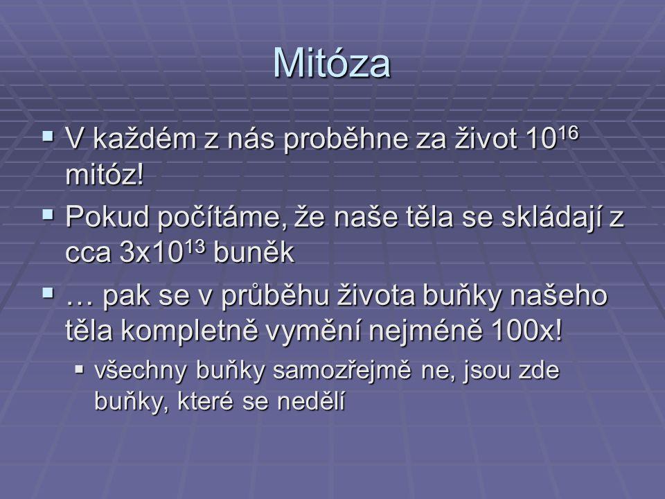 Mitóza V každém z nás proběhne za život 1016 mitóz!