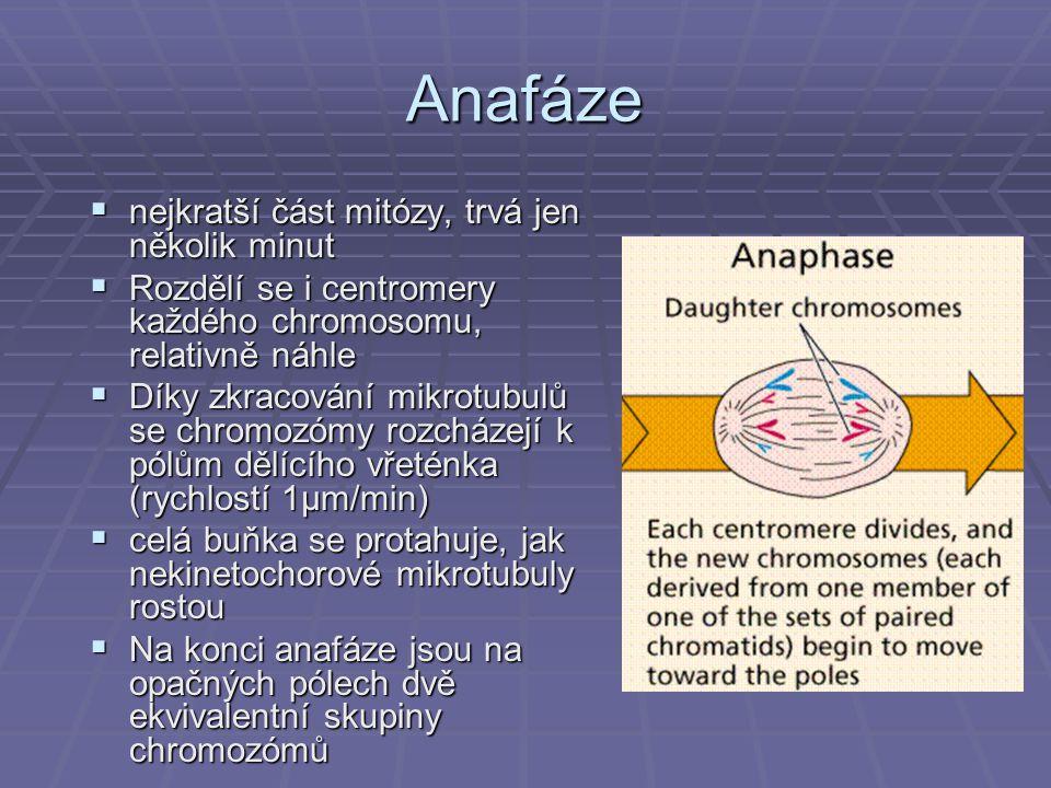 Anafáze nejkratší část mitózy, trvá jen několik minut