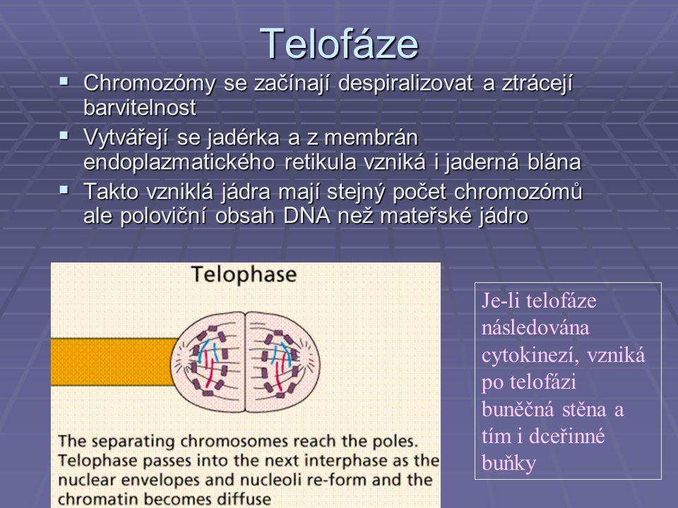 Telofáze Chromozómy se začínají despiralizovat a ztrácejí barvitelnost
