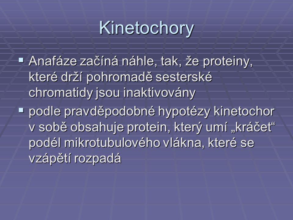 Kinetochory Anafáze začíná náhle, tak, že proteiny, které drží pohromadě sesterské chromatidy jsou inaktivovány.