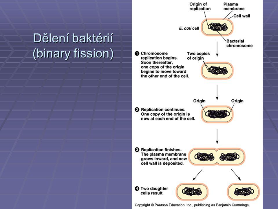 Dělení baktérií (binary fission)