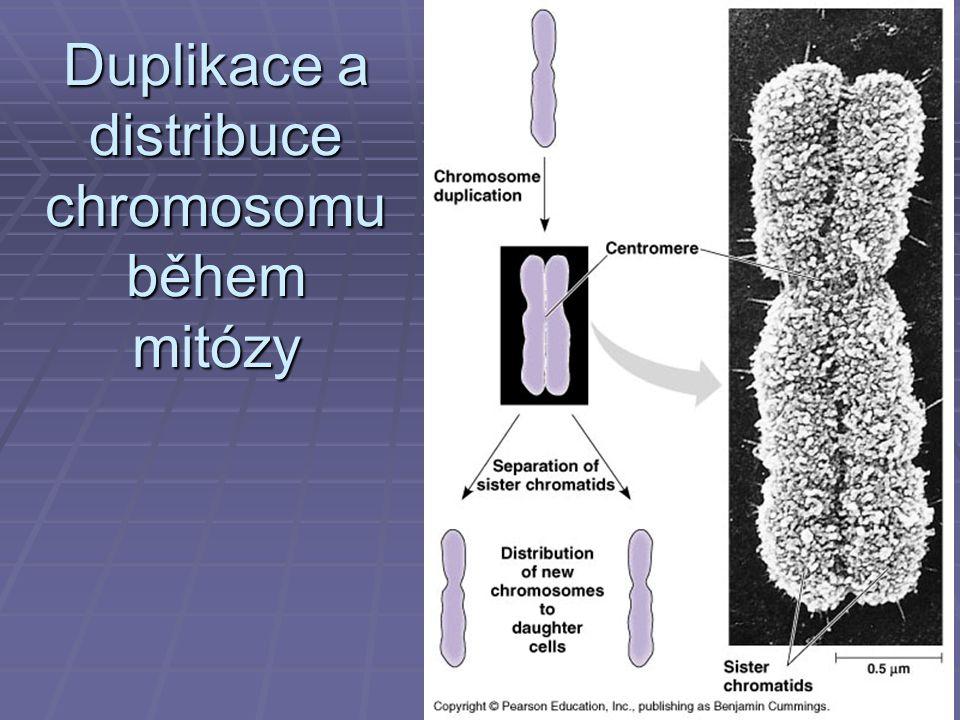 Duplikace a distribuce chromosomu během mitózy