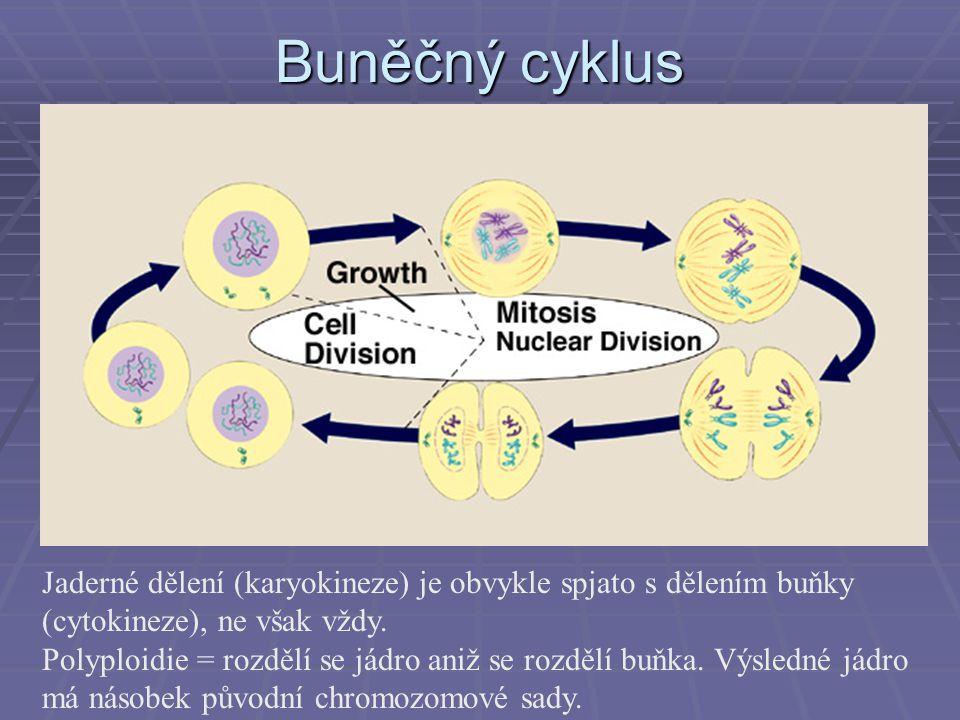 Buněčný cyklus Jaderné dělení (karyokineze) je obvykle spjato s dělením buňky (cytokineze), ne však vždy.