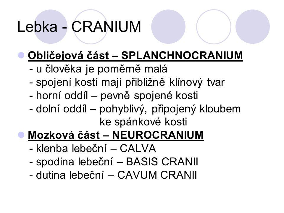 Lebka - CRANIUM Obličejová část – SPLANCHNOCRANIUM