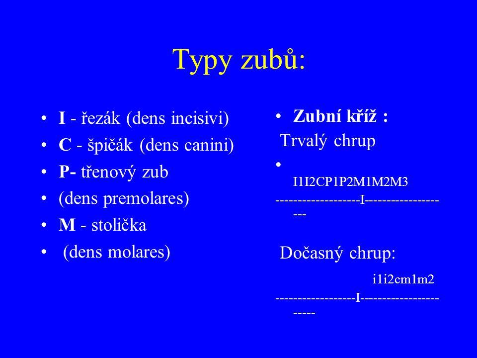 Typy zubů: I - řezák (dens incisivi) C - špičák (dens canini)