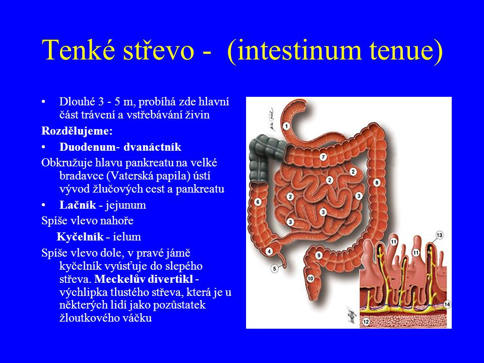 Tenké střevo - (intestinum tenue)