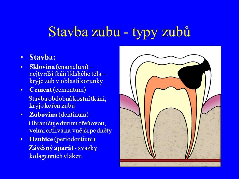 Stavba zubu - typy zubů Stavba: