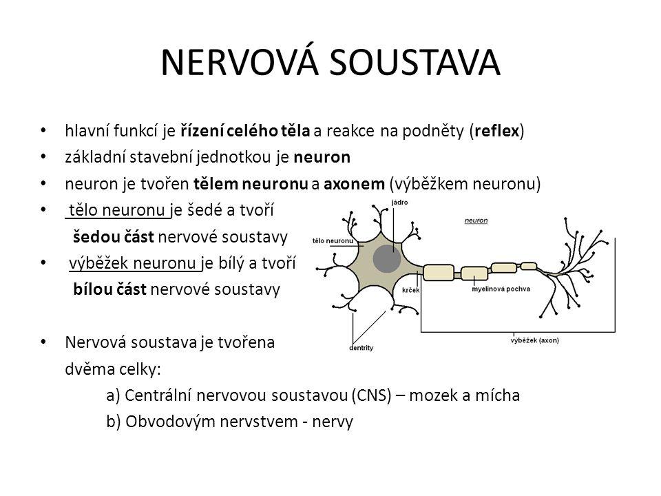 NERVOVÁ SOUSTAVA hlavní funkcí je řízení celého těla a reakce na podněty (reflex) základní stavební jednotkou je neuron.