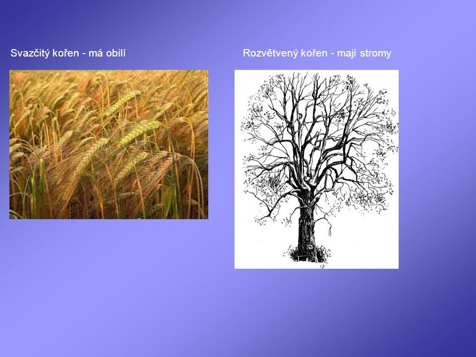 Svazčitý kořen - má obilí