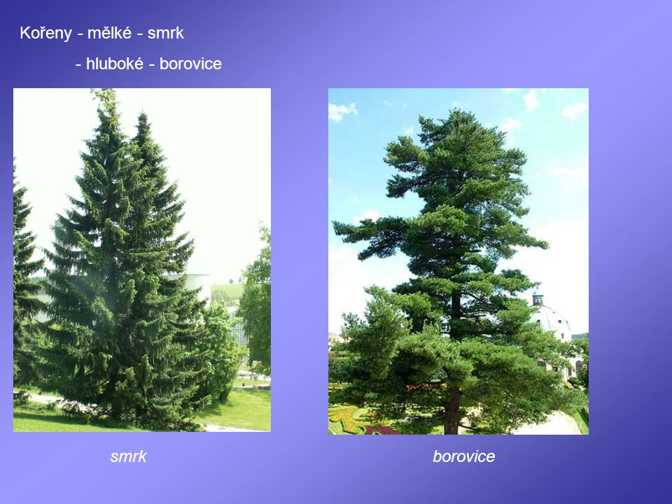 Kořeny - mělké - smrk - hluboké - borovice smrk borovice