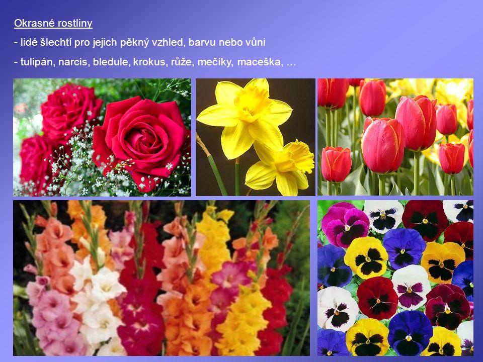 Okrasné rostliny - lidé šlechtí pro jejich pěkný vzhled, barvu nebo vůni.