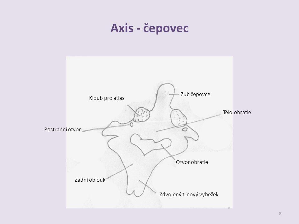Axis - čepovec Zub čepovce Kloub pro atlas Tělo obratle