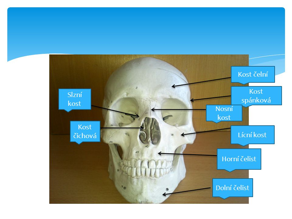 Kost čelní Kost spánková Slzní kost Nosní kost Kost čichová Lícní kost Horní čelist Dolní čelist