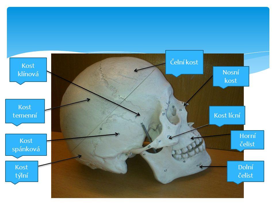 Čelní kost Kost klínová. Nosní kost. Kost temenní. Kost lícní. Horní čelist. Kost spánková. Kost týlní.