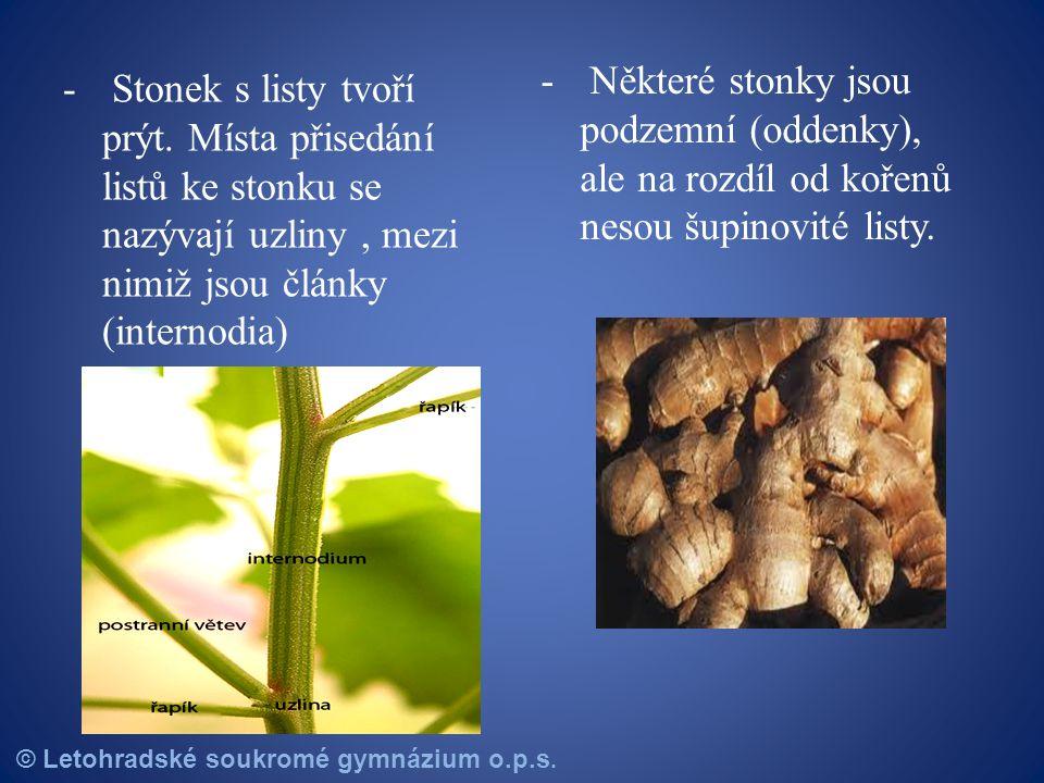 Některé stonky jsou podzemní (oddenky), ale na rozdíl od kořenů nesou šupinovité listy.
