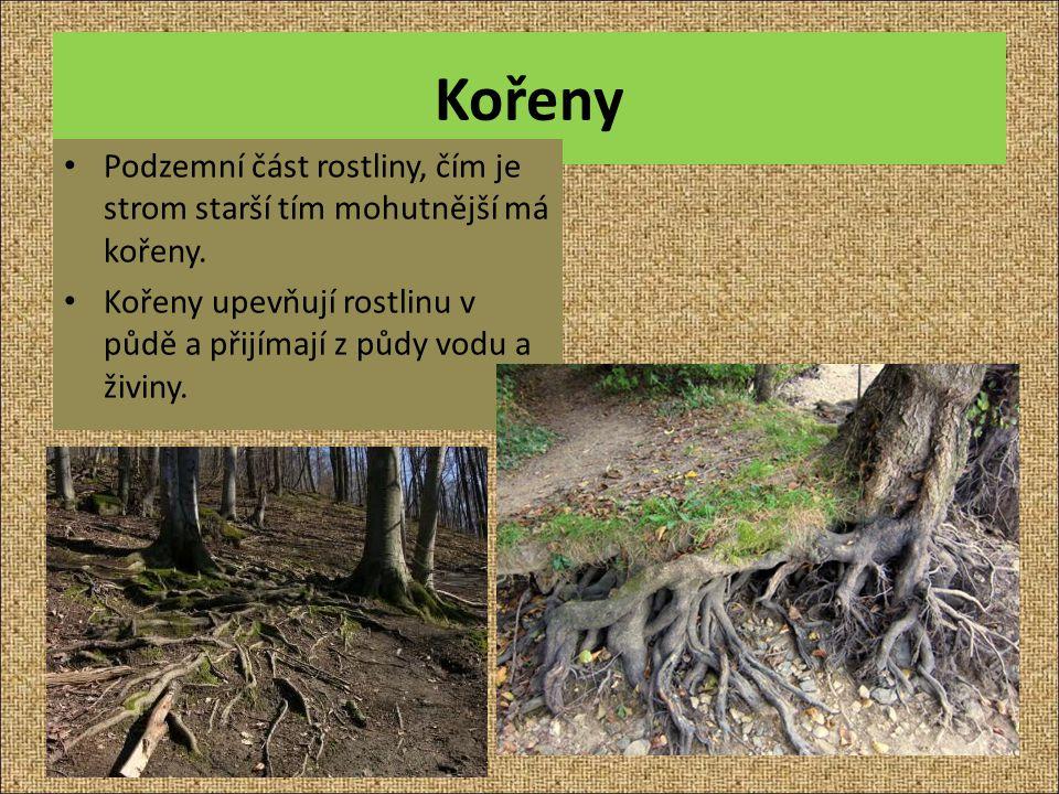 Kořeny Podzemní část rostliny, čím je strom starší tím mohutnější má kořeny.