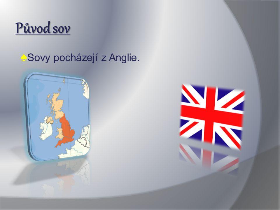 Původ sov ♠Sovy pocházejí z Anglie.
