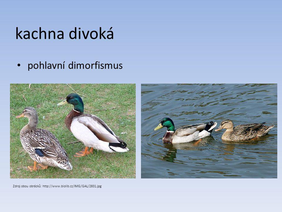 kachna divoká pohlavní dimorfismus