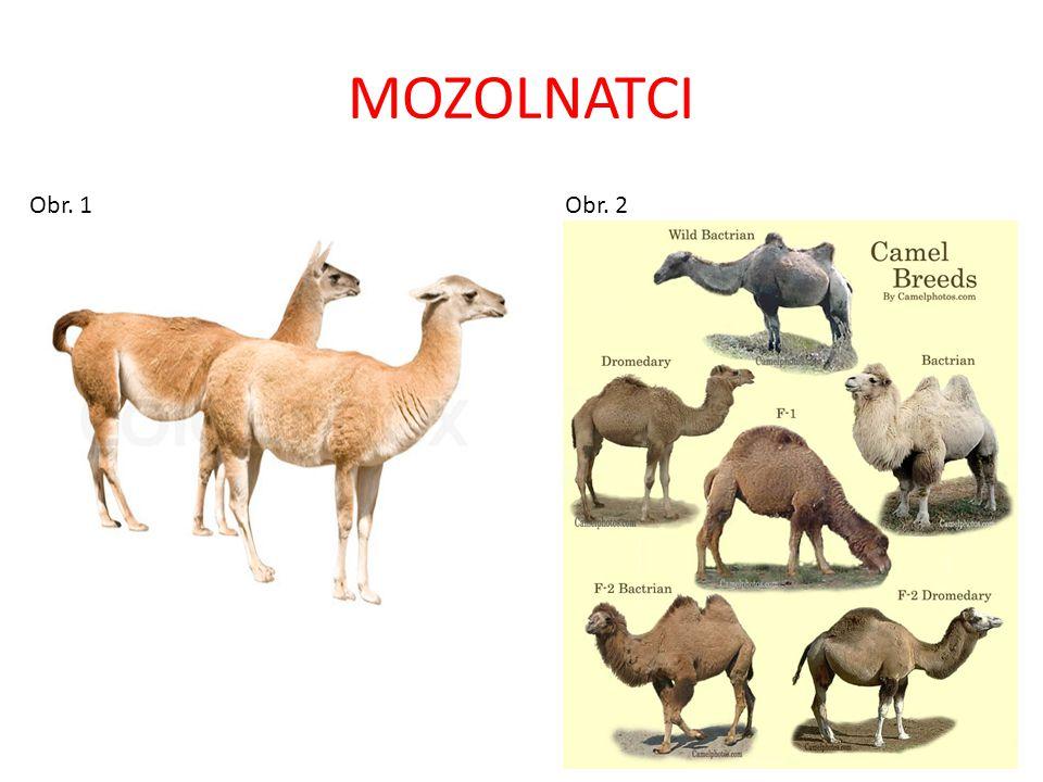 MOZOLNATCI Obr.