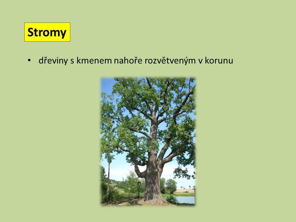 Stromy dřeviny s kmenem nahoře rozvětveným v korunu
