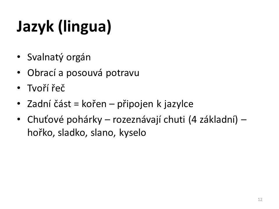 Jazyk (lingua) Svalnatý orgán Obrací a posouvá potravu Tvoří řeč