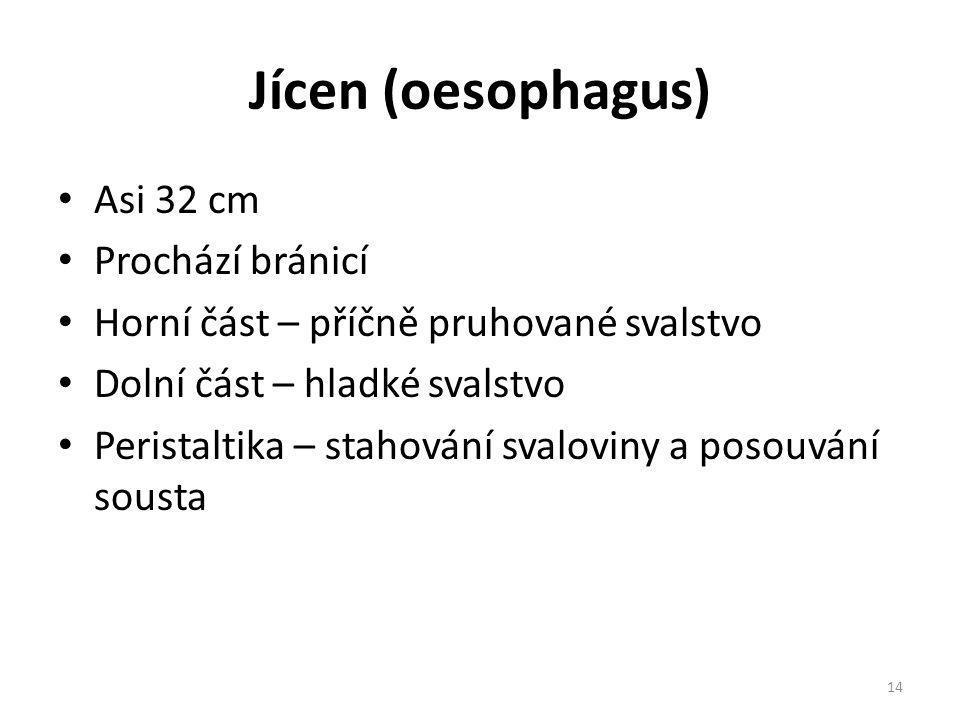 Jícen (oesophagus) Asi 32 cm Prochází bránicí