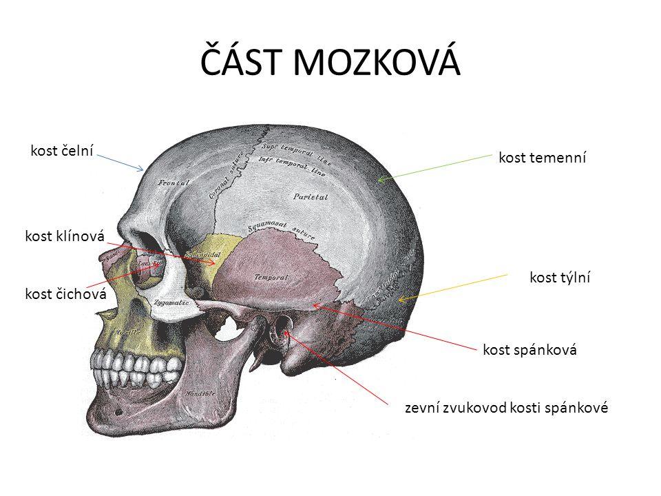 ČÁST MOZKOVÁ kost čelní kost temenní kost klínová kost týlní