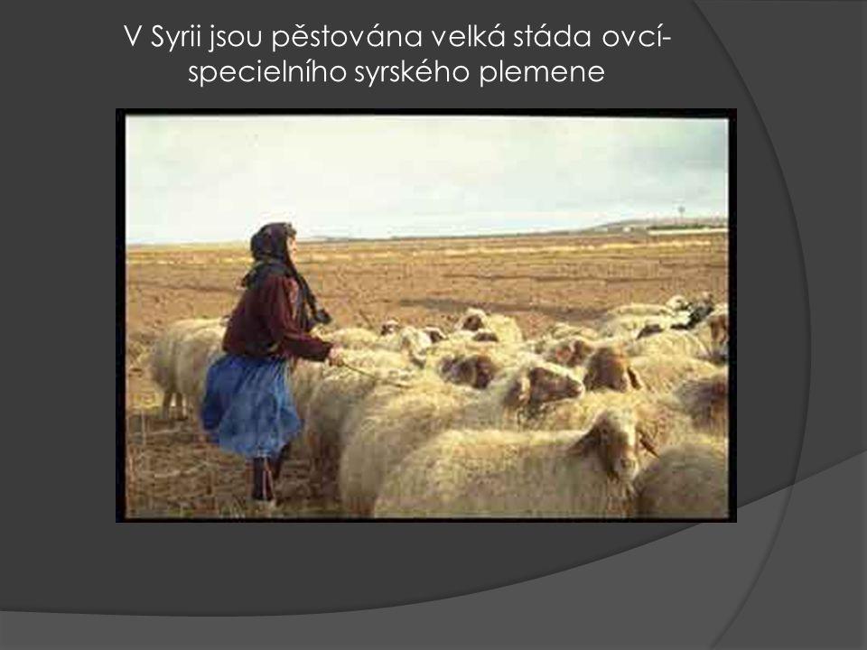 V Syrii jsou pěstována velká stáda ovcí- specielního syrského plemene