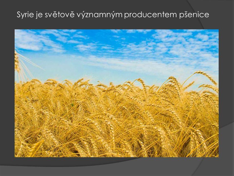 Syrie je světově významným producentem pšenice