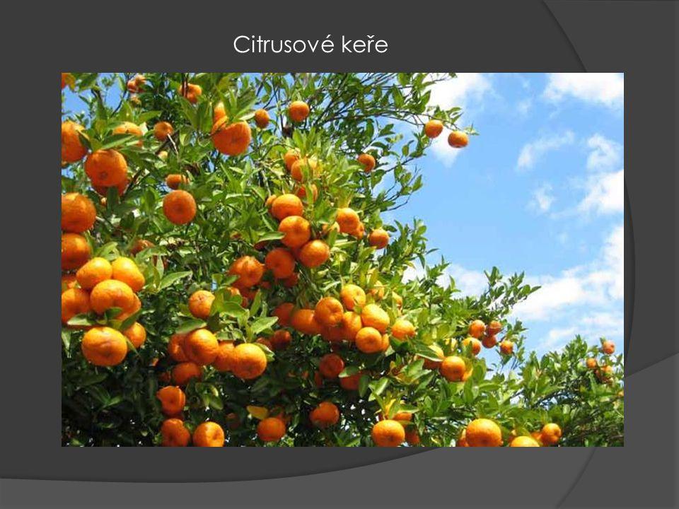 Citrusové keře